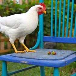 Poule pondeuse : la Leghorn