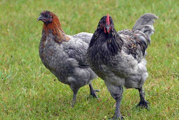 Poule pondeuse : la Marans