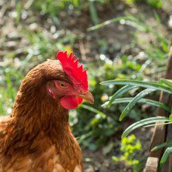 Poule pondeuse : la poule Rousse