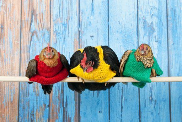 Les maladies de la poule