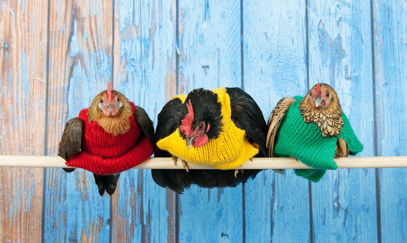 Sant et soins archives ma basse cour for Les maladies des poules