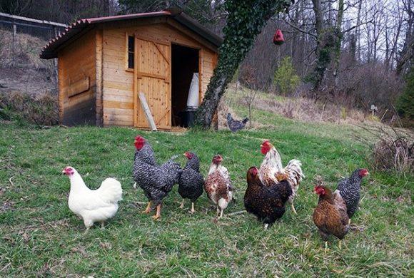 Poule et coq au champ