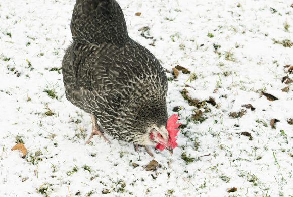 Ma cabane à poules au rythme des saisons
