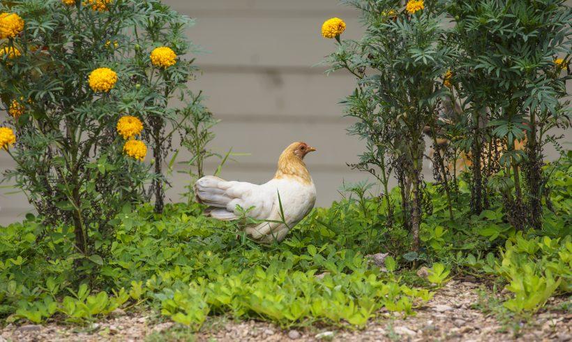 Poules et jardin : une cohabitation raisonnée
