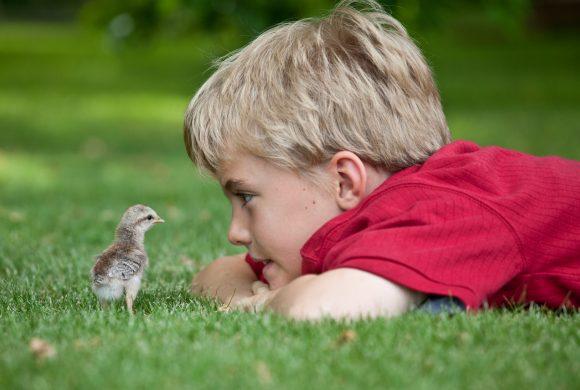 Zoothérapie par les poules