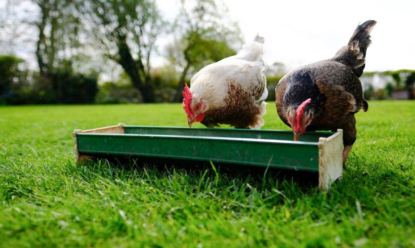 Abreuvoirs à poules : guide des buvettes