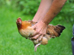 Vos poules aux petits soins traitement de maladies for Traitement pour les poules