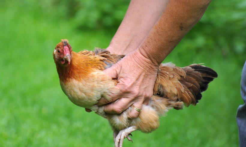 Les poules archives ma basse cour for Traitement pour les poules